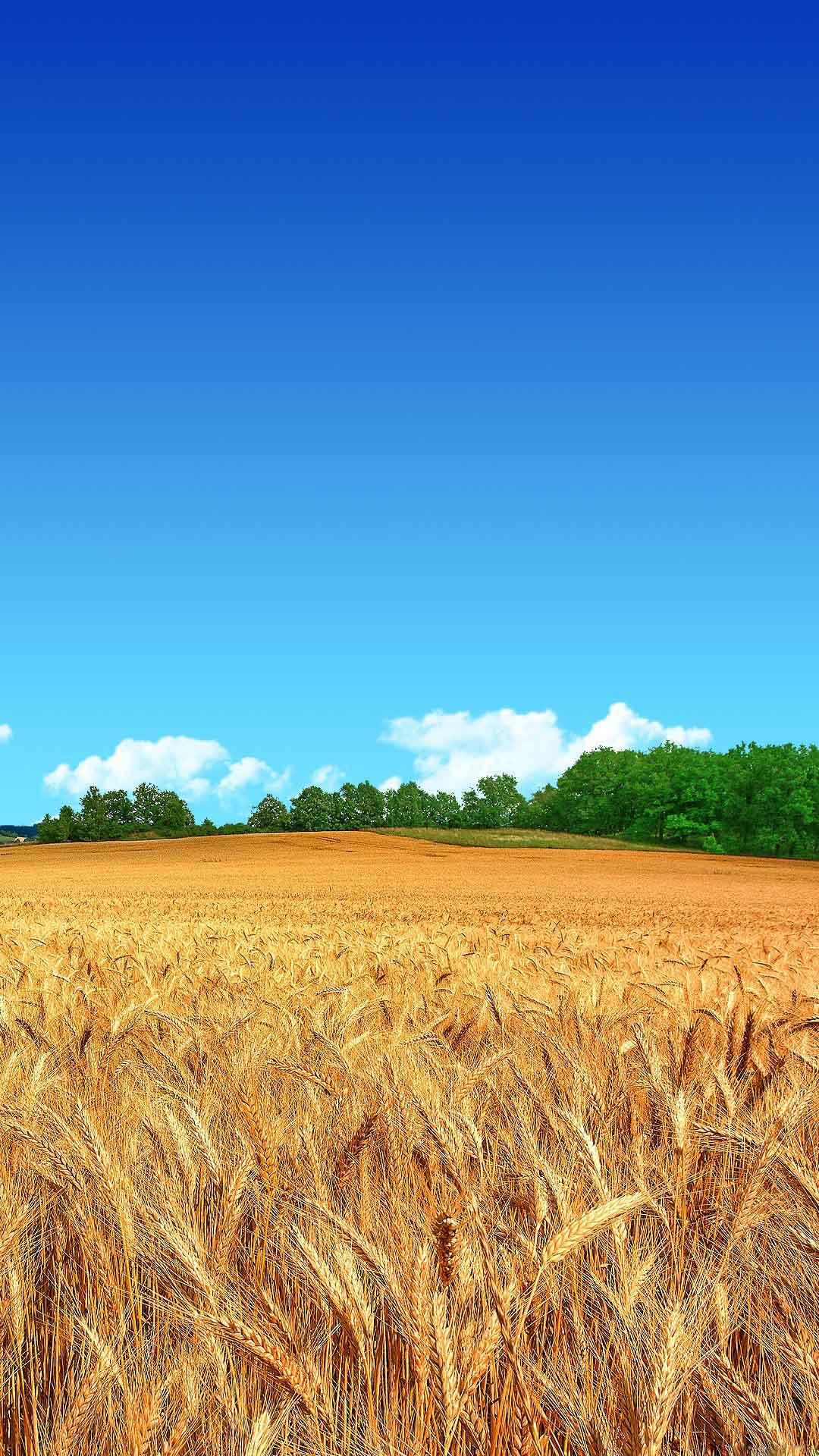 Fondo de pantalla con campo de trigo